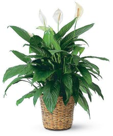 """Peace Lily"""