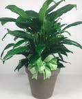 Spathiphyllum Plant In Ceramic