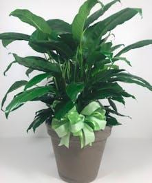 Spathiphyllum Plant In Ceramic