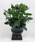 Jade Plant in Urn