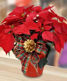 Poinsettia Plant -Upgraded Container