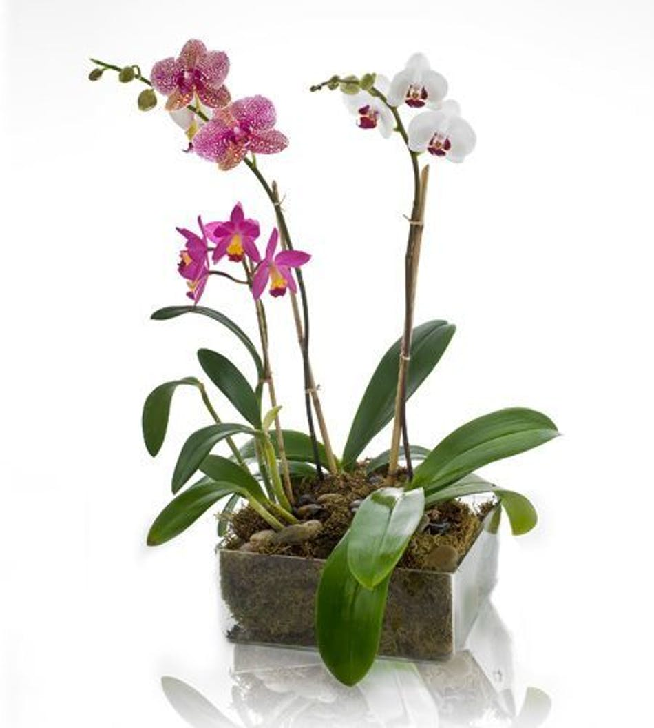Orchid Garden Earn Reward Points With Your Purchase Learn More About This Product By Clicking