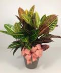Croton Plant  6