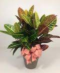 Croton Plant 8