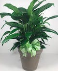 Spathiphyllum Plant In Ceramic 8