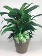 Spathiphyllum Plant In Ceramic 8