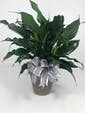 Spathiphyllum Plant In Ceramic 6