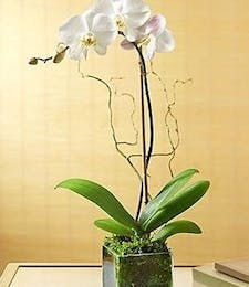 Exotic Orchid Plant